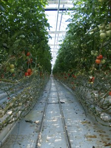 Rows of delicious hydroponically-grown tomatoes